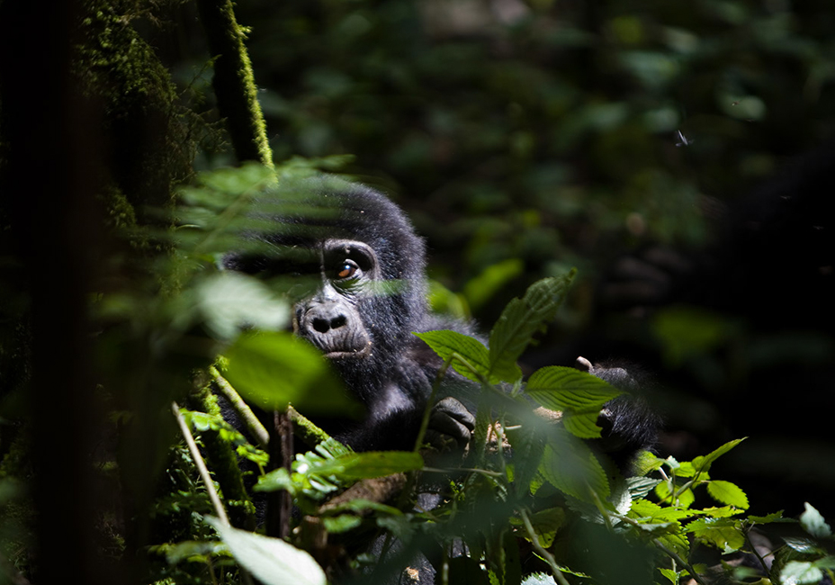Baby gorilla Ugandan Jungle Bwindi Impenetrable National Park wildlife StillMoving